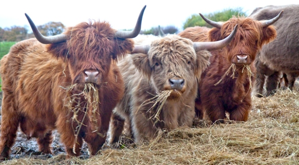 Have some highland cows, who are still cooler than anyone on this show.
